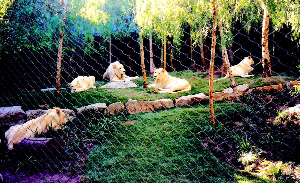 Heterozygous White Lions at Mirage Hotel in Las Vegas