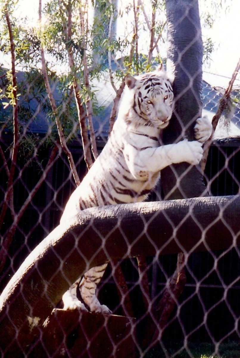 Playful White Striped Tiger at the Mirage Hotel Secret Garden