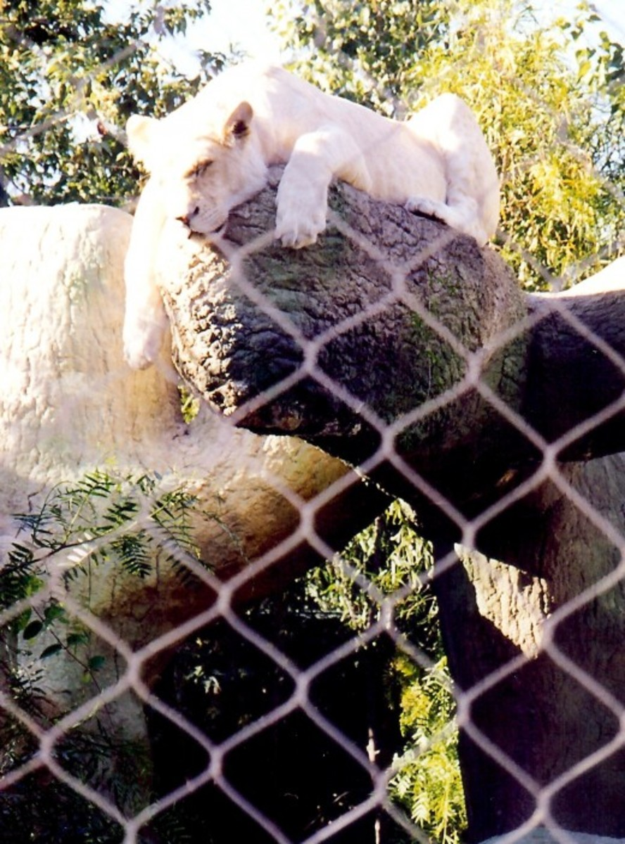 White Lion of Timbavati in repose at Mirage Hotel