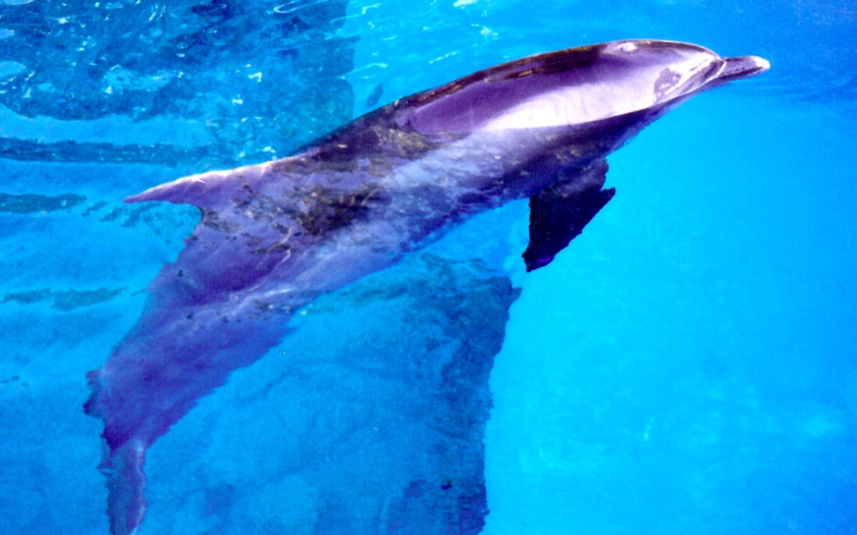 One of the dolphins in the Mirage pool
