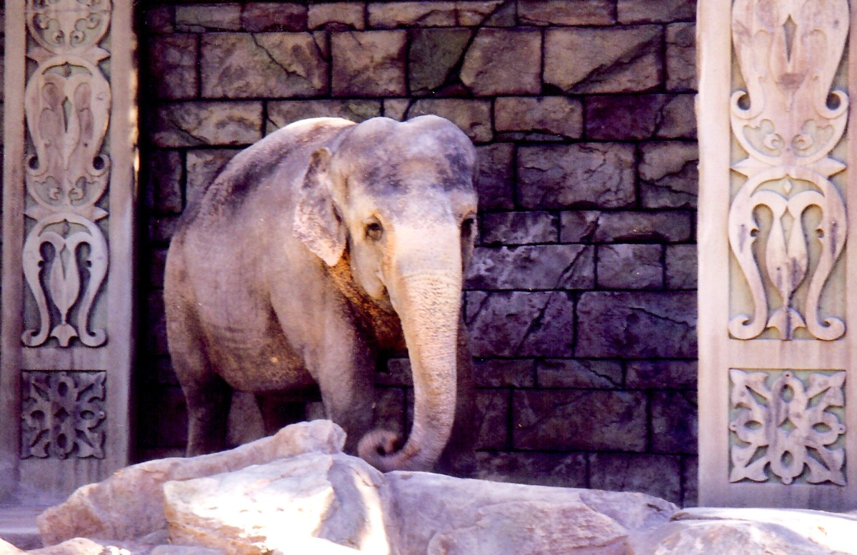 "Asian Elephant named ""Gildah"" at Mirage Hotel"