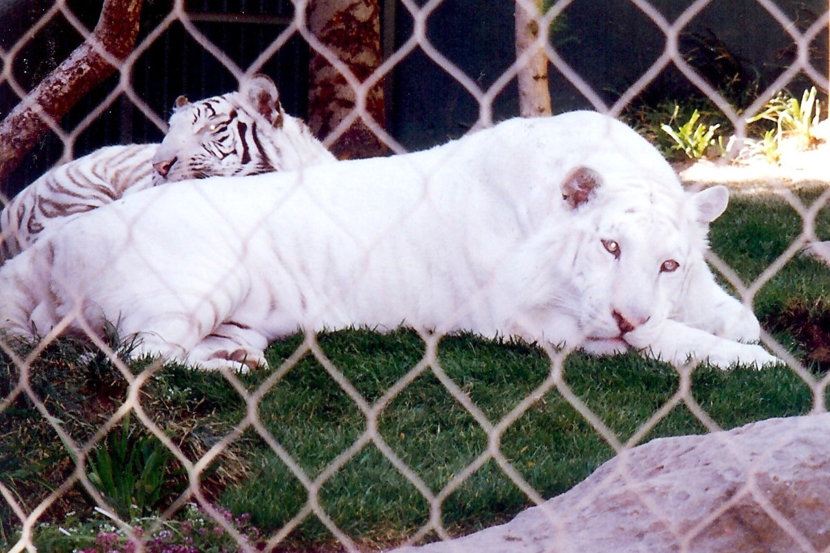 Siegfried & Roy's Snow White  & White Striped Tigers at the Mirage Hotel in Las Vegas