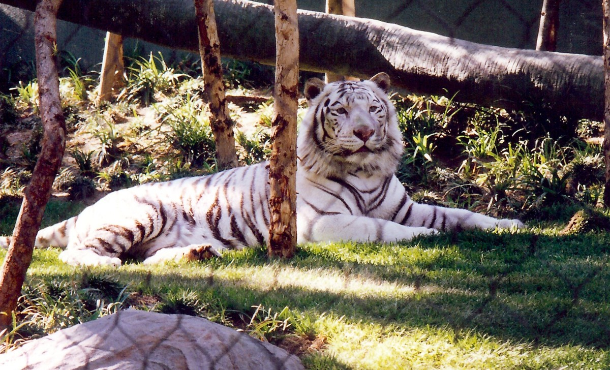 White Striped Tiger