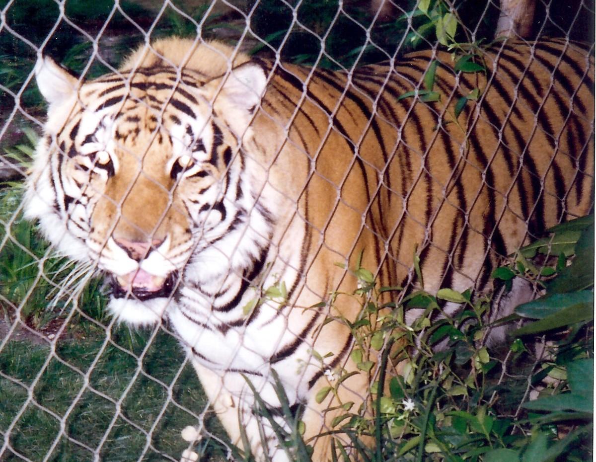 Heterozygous Tiger at Mirage Hotel