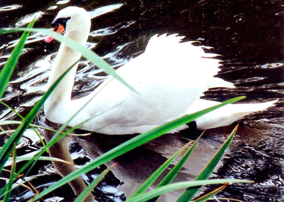 White swan on the Salado Creek alongside Los Patios