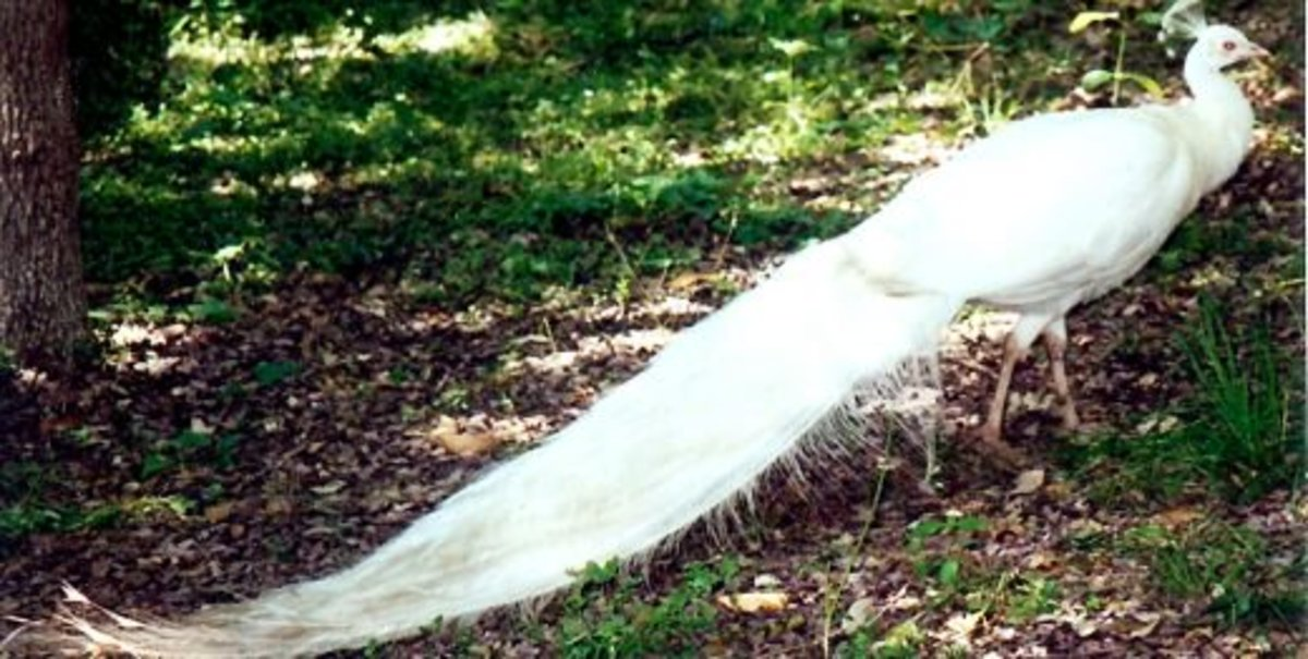 White Peacock on the grounds of Los Patios in San Antonio, TX