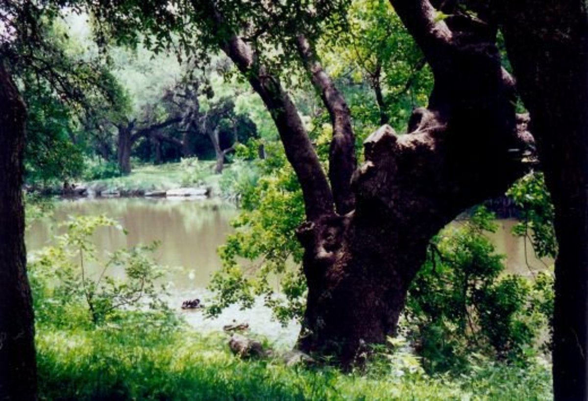 Old oak tree along the Salado Creek at Los Patios