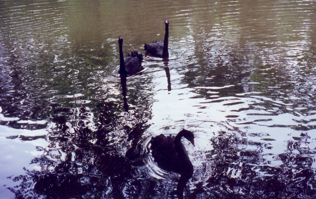 Black swans on the Salado Creek running alongside Los Patios
