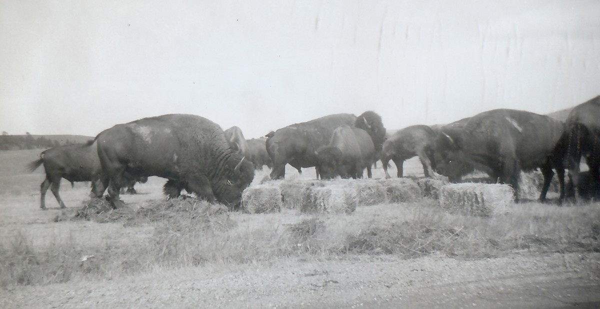 """Note scars on some of these big bulls.  Wind Cave National Park"""
