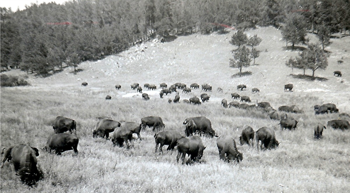 """Buffalo in Custer State Park"""