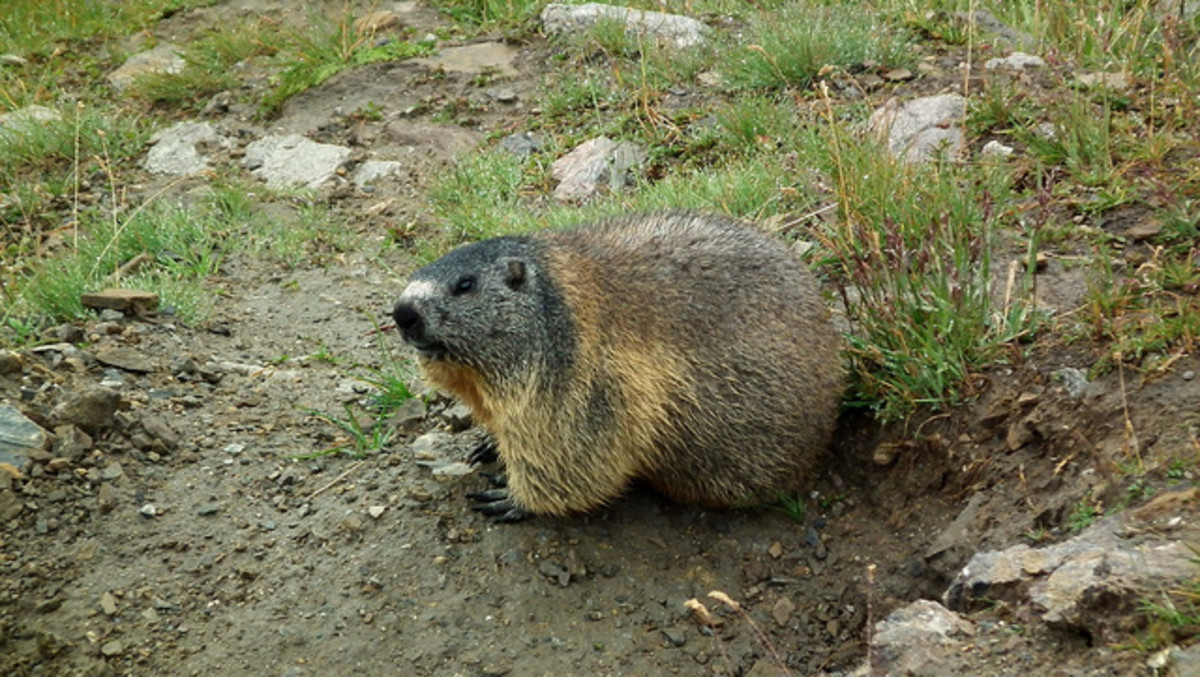 Marmot near Furka Pass, Switzerland