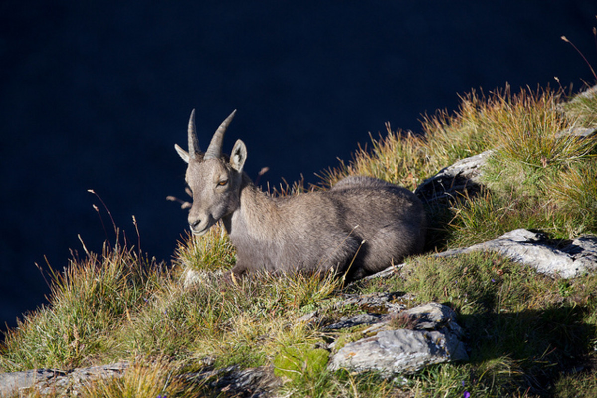 animals-in-the-alps