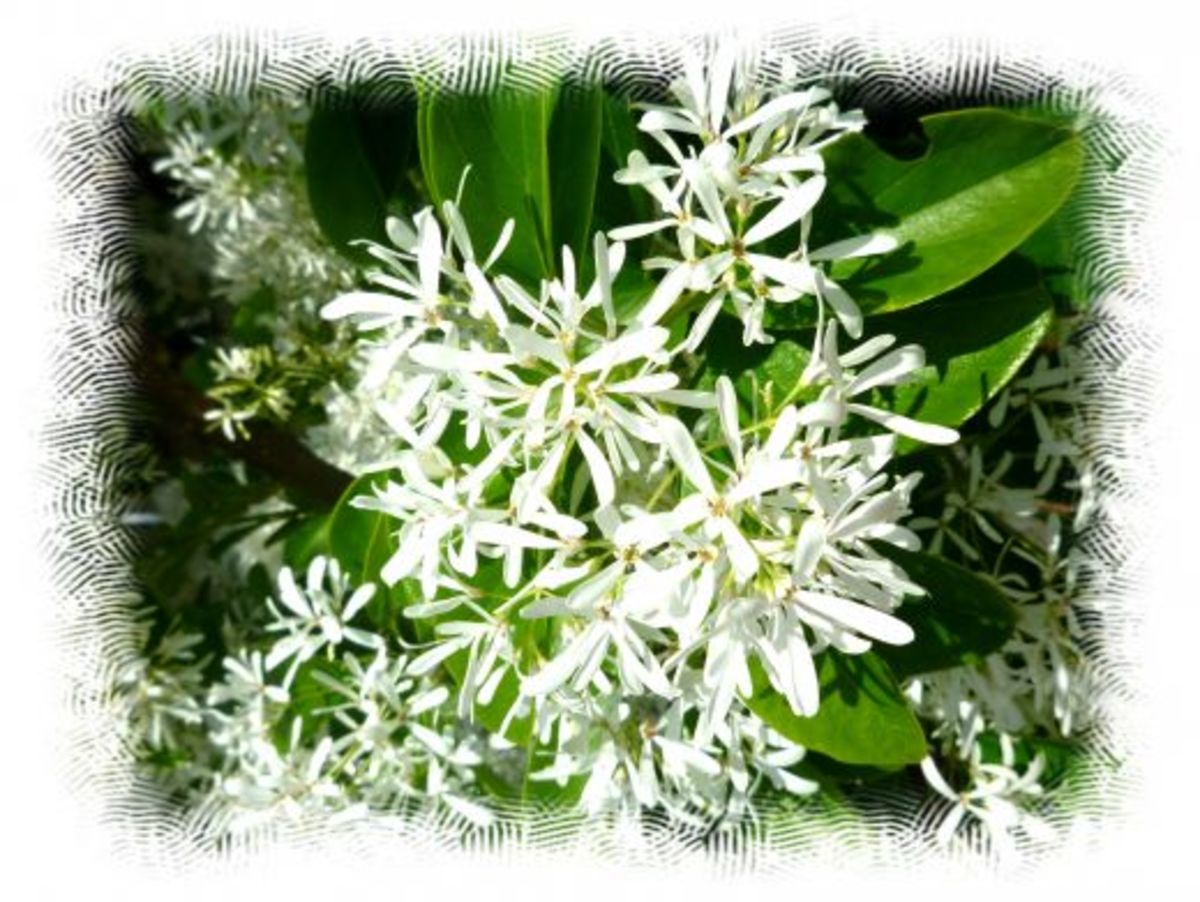 White blossoms on trees