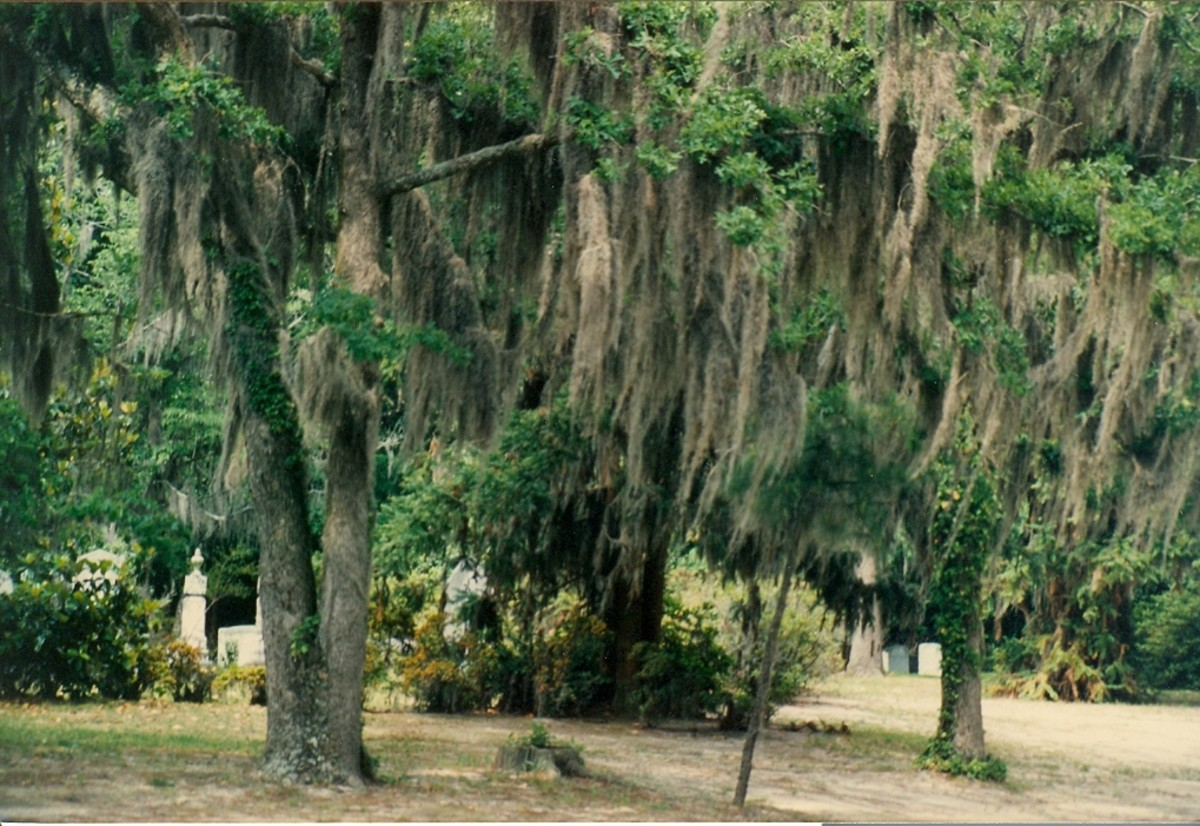 Spanish moss is common along coastal (southeast) North Carolina. Photo taken in Tar Heel.