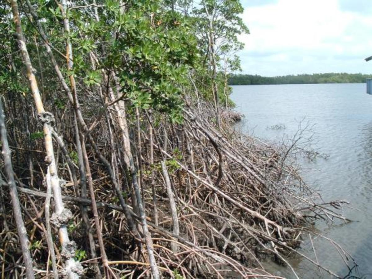 Mangroves at Anne Kolb Nature Center