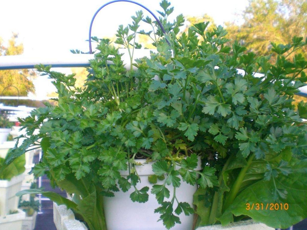 Parsley -- fresh, well colored, crisp and so alive.