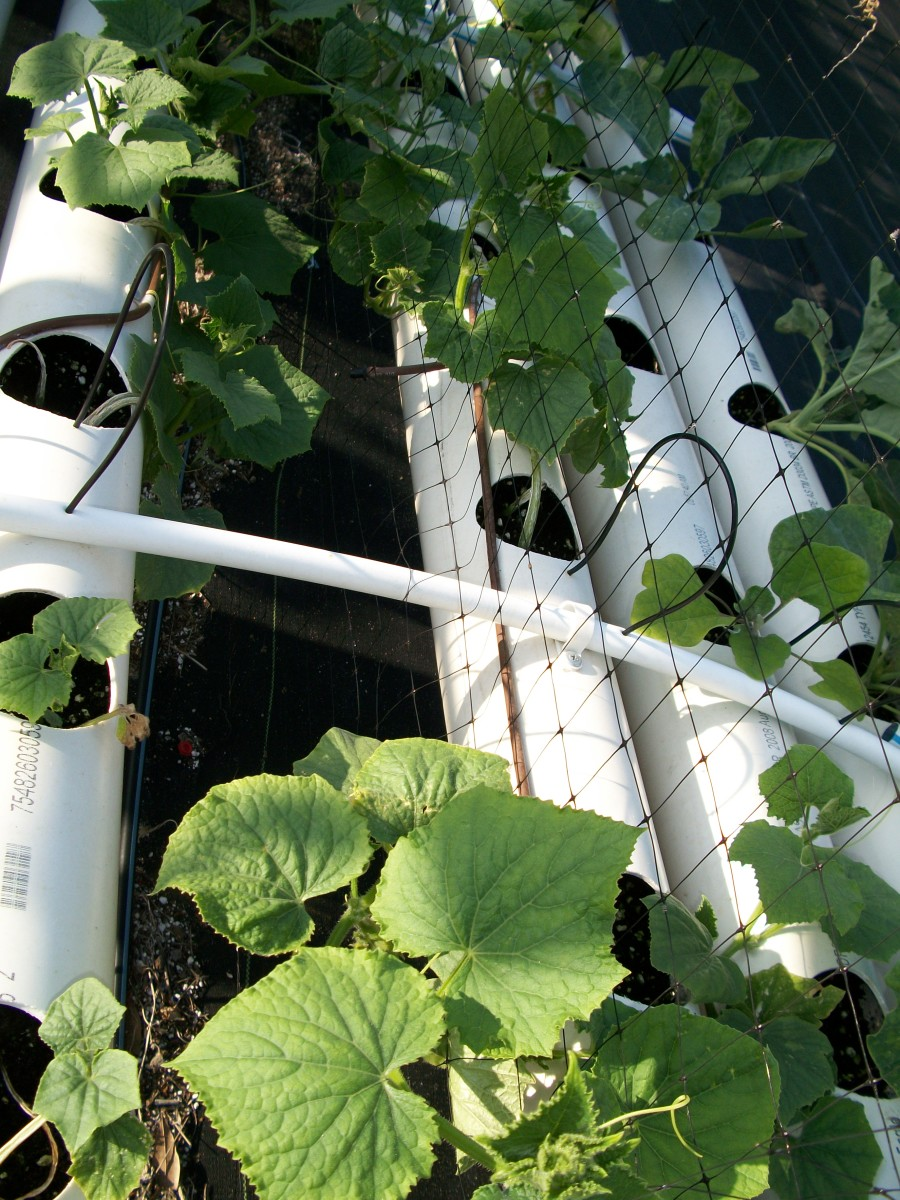 Cucumber seedlings in their pipe grower ready to climb the net and fourish.