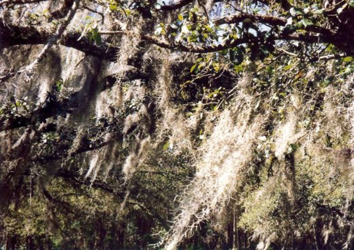 Spanish moss hanging from the trees at Maclay Gardens