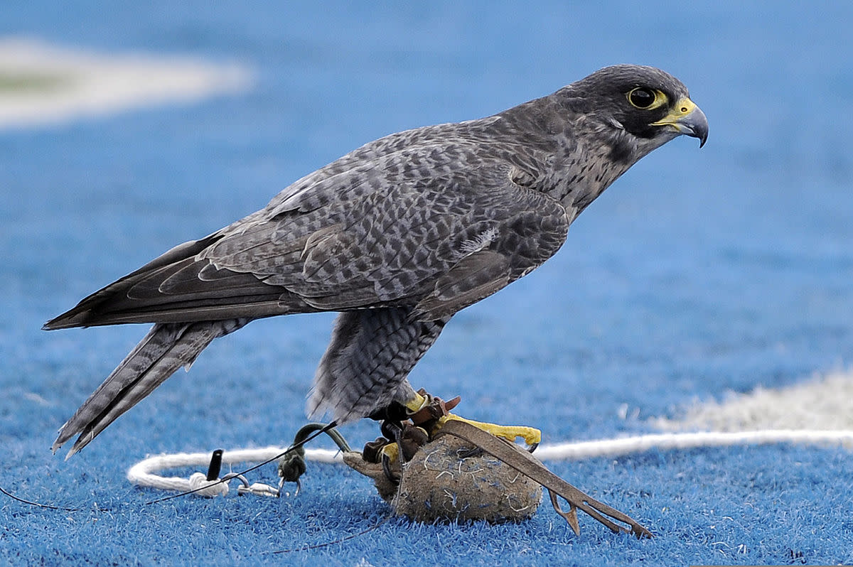 The U.S. Air Force Academy (USAFA) mascot, Apollo, sits on the lure after completing a halftime show during the USAFA Falcons football game against the Idaho State Bengals at Falcon Stadium in Colorado Springs, Colo., Sept. 1, 2012.