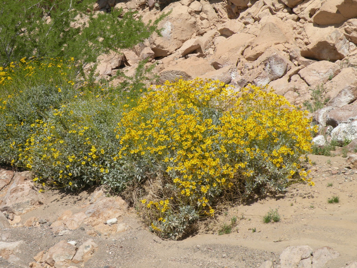 Brittlebush blooming in a canyon near Imperial Dam.  The brittlebush blooms in washes and along roadside brightening the landscape with promises of spring.