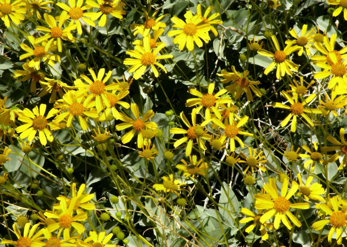 Closeup of Brittlebush in Bloom.  Imperial Dam Recreation Area near Bard, Arizona.