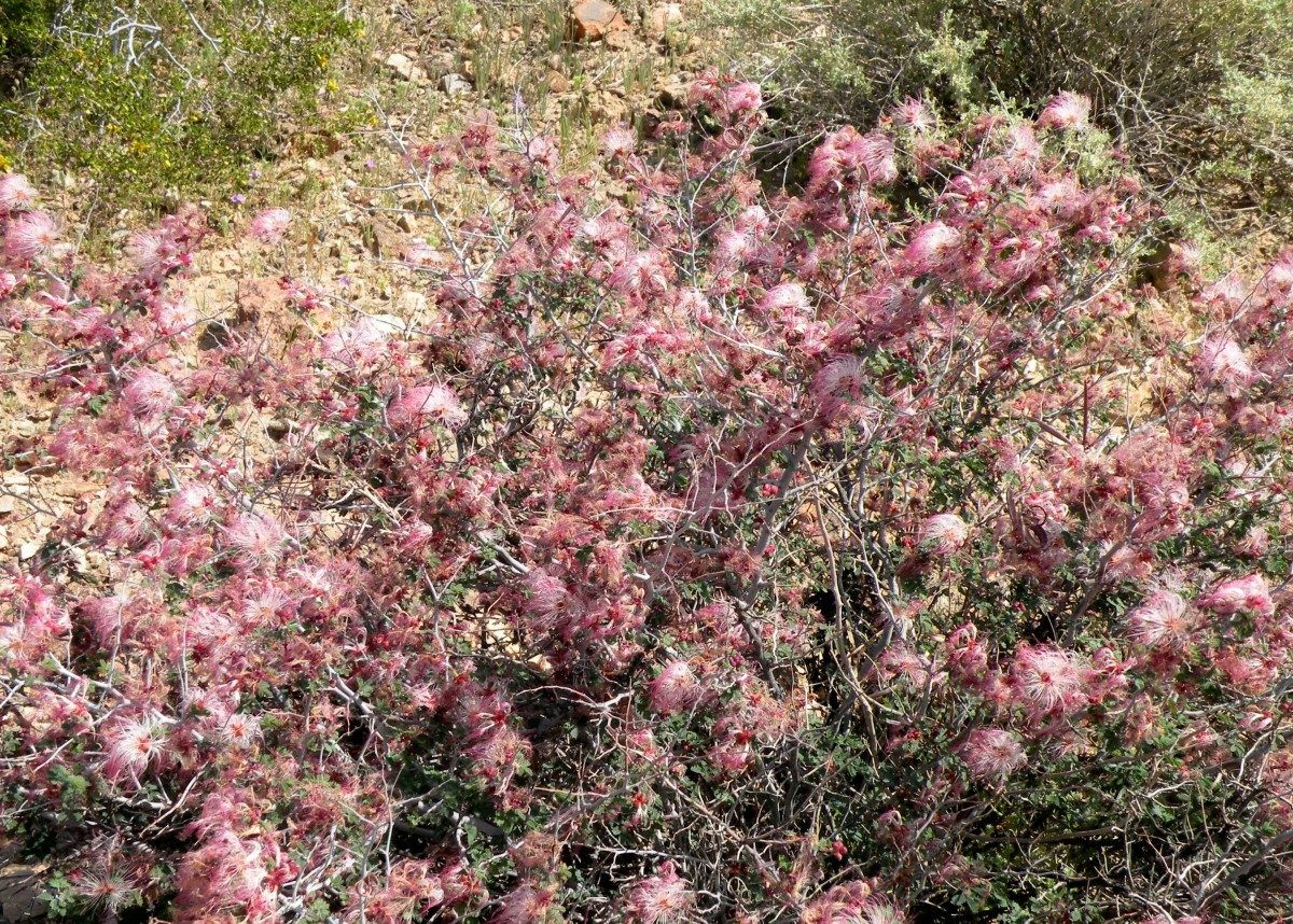 By the time these fuzzy pink bushes were blooming, the weather was warming up in the desert.  I carefully checked for snakes before getting too close.