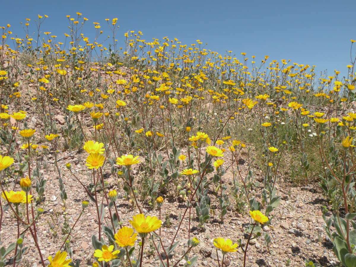 Desert marigold.  I found this large stand blooming on a hillside where the flowers were striking against the deep blue sky.