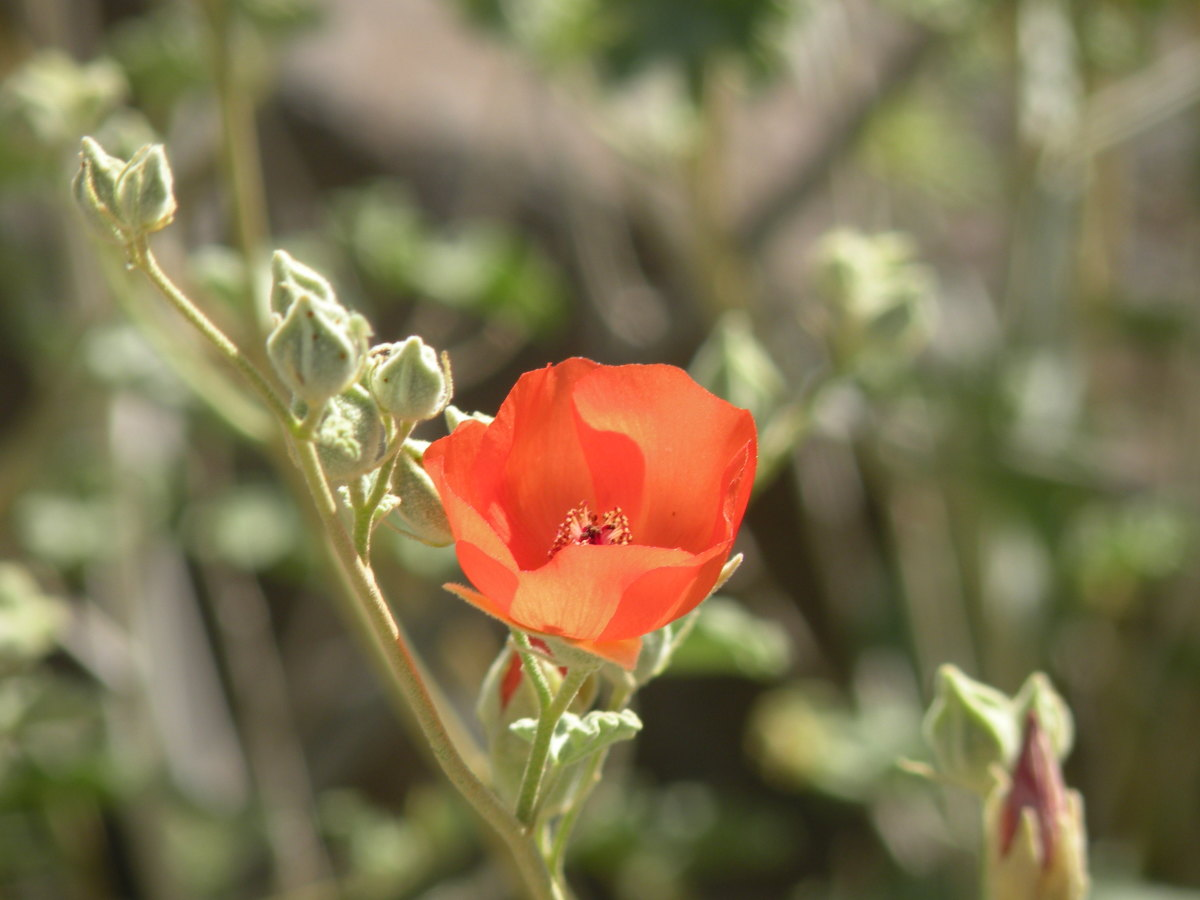 Possibly a globemallow or wild poppy, we found this brilliant orange flower in a hidden wash while hunting for a turquoise mine in the hills near Imperial Dam.