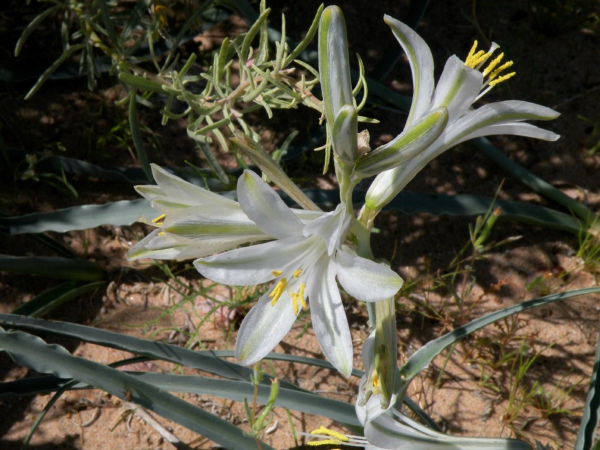 Ajo Lily sometimes called a desert lily.  Beautiful while lily often springs up in the shadow of larger bushes.