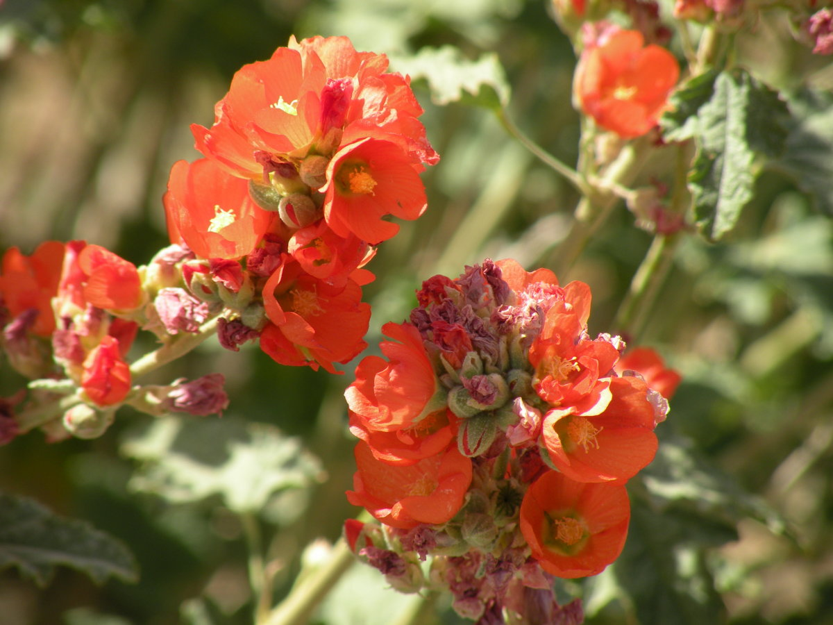 wildflowers-in-the-arizona-desert