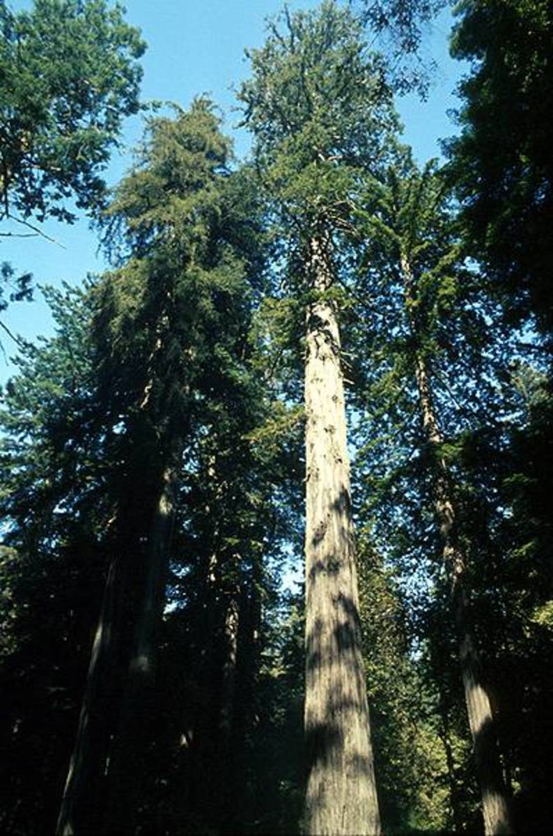 The coastal redwoods are the tallest trees in the world.