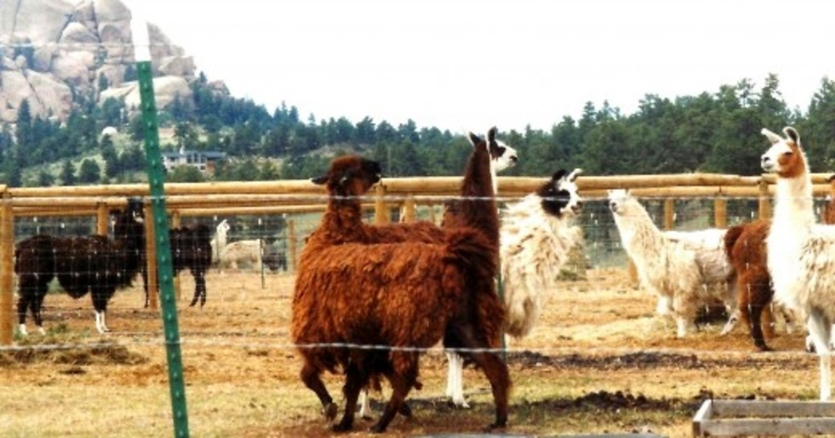 Lots of llamas!