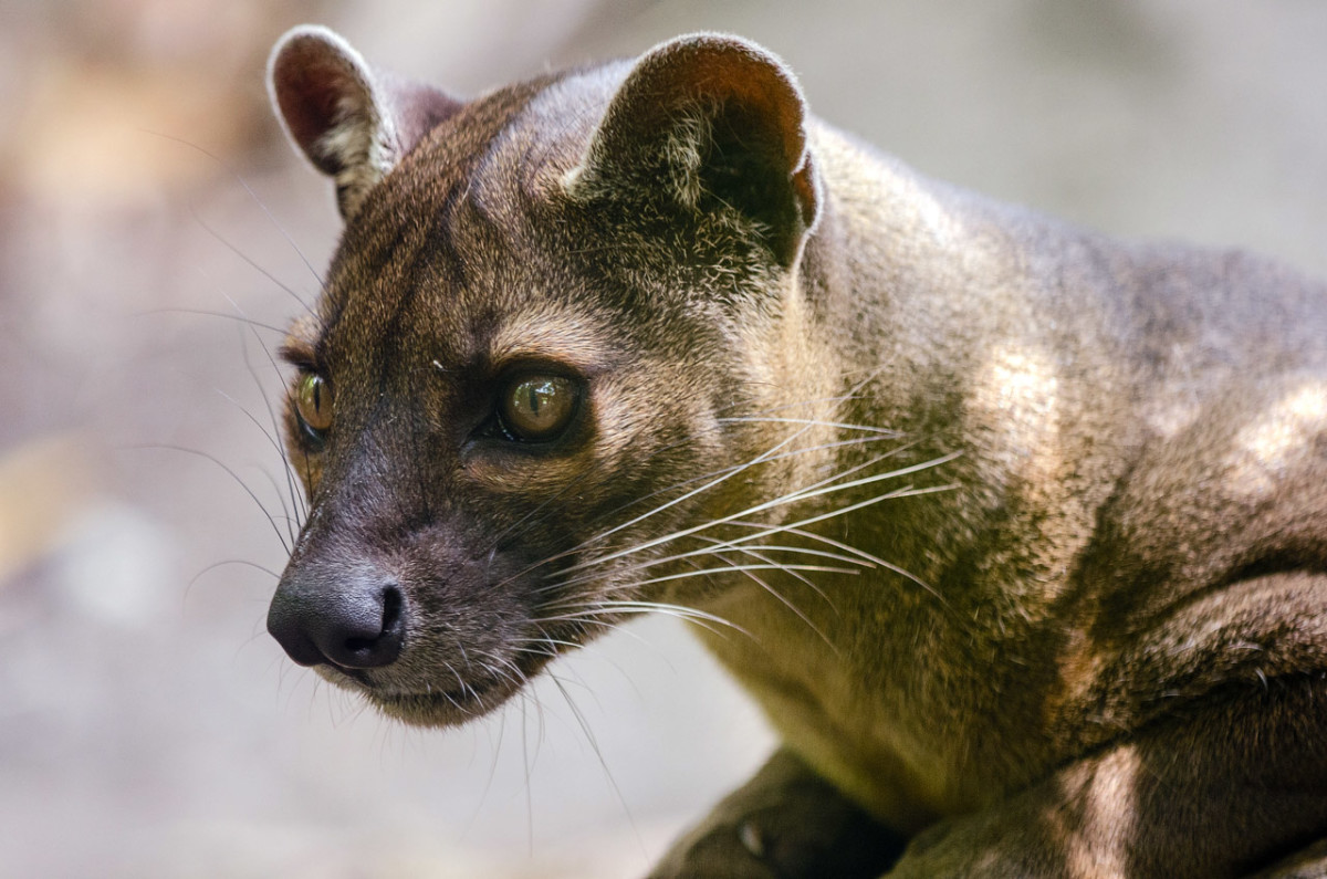 An amazing close-up of a fossa.