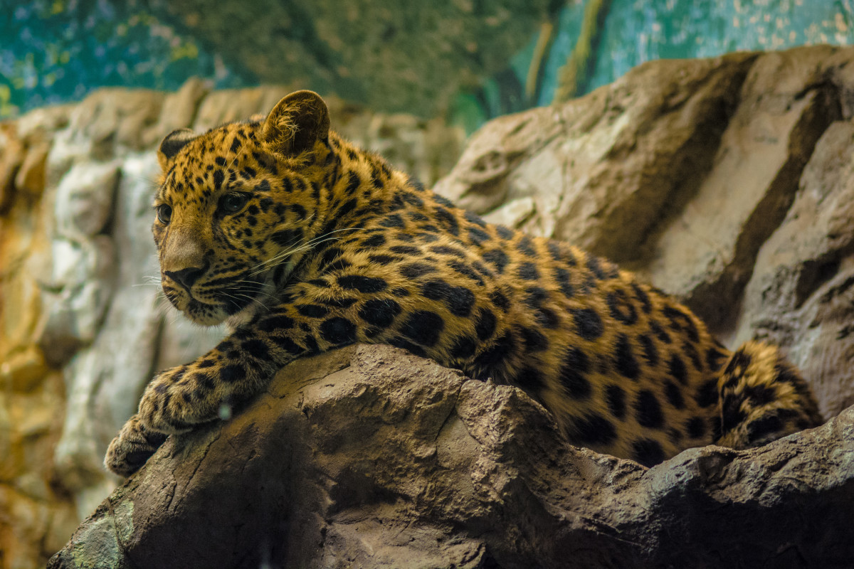 One of the gorgeous big cats at the Denver Zoo.