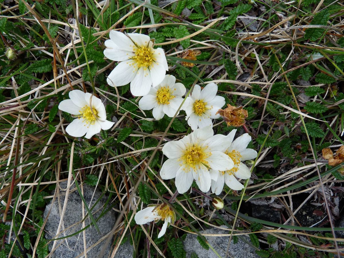 Dryas octopetala (or mountain avens) is a flower often found in Arctic-alpine regions, but they can also be found within the Burren.