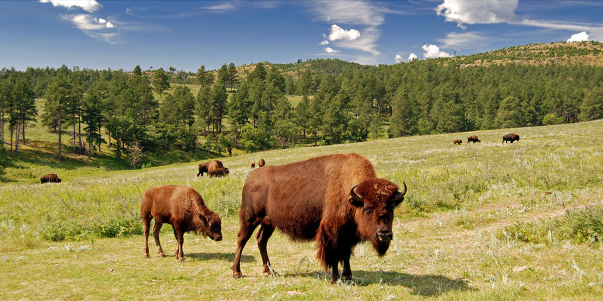 Bison roam free in Custer State Park, SD.
