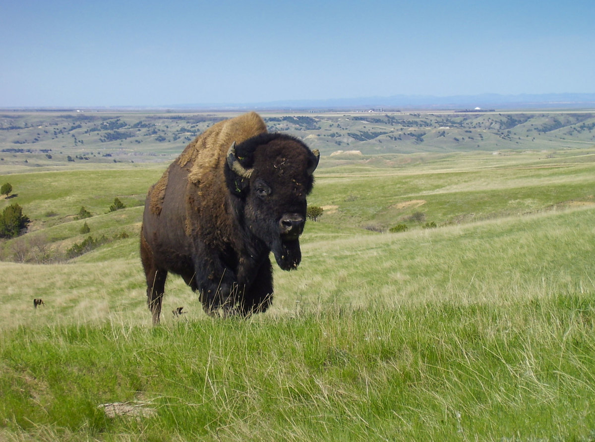 Bison are majestic creatures capable of seriously injuring or even killing you. For your safety, do not approach them.