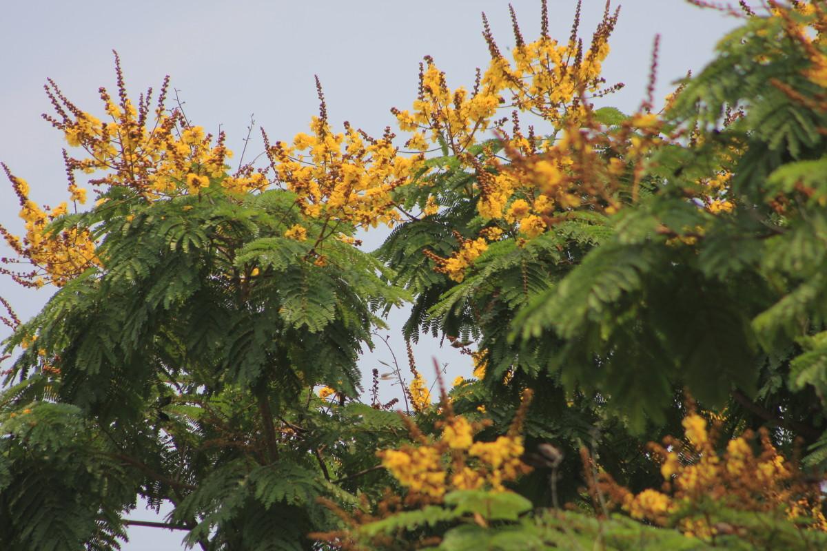 The Golden-Rain Tree
