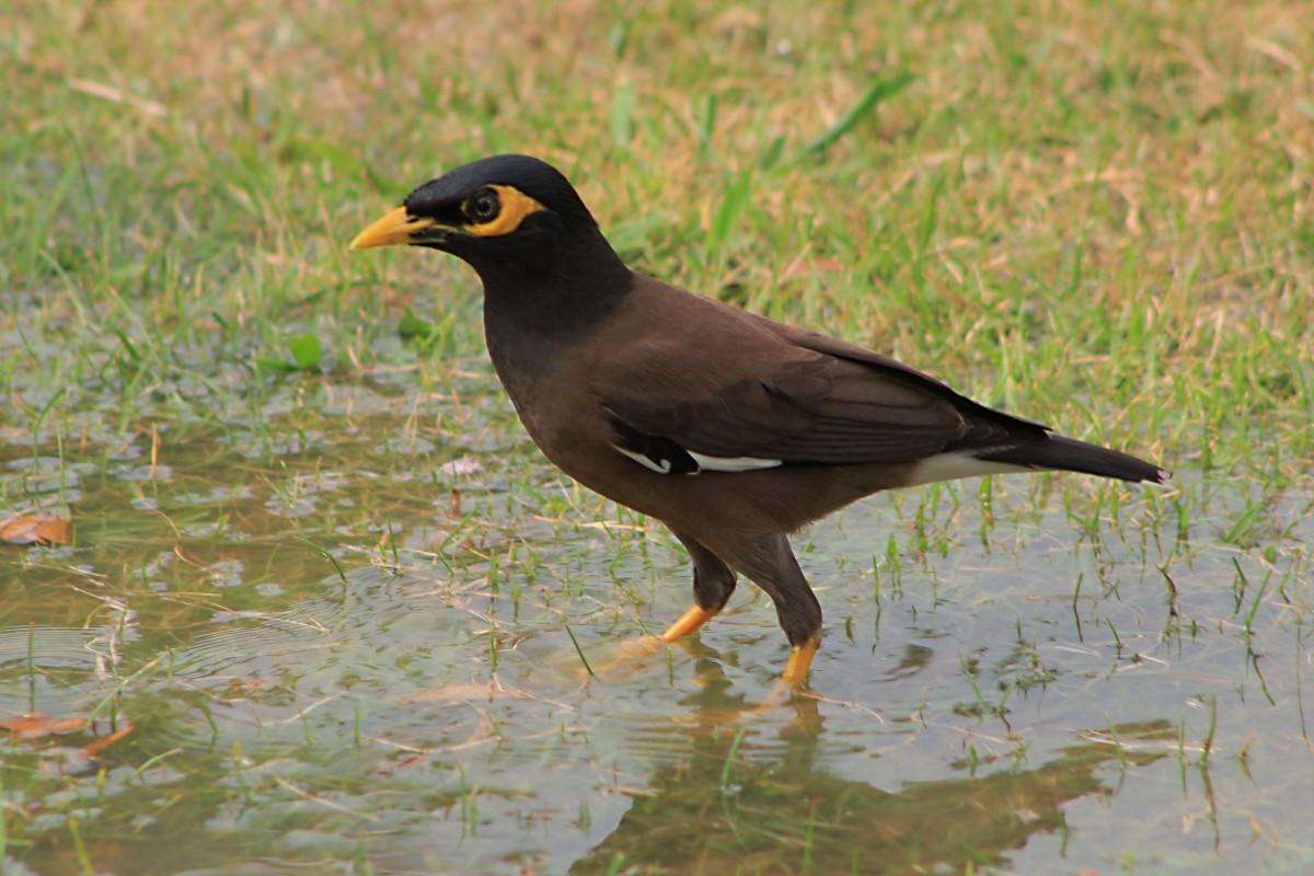 Common Myna Bird - one of the most ubiquitous of all Thai birds