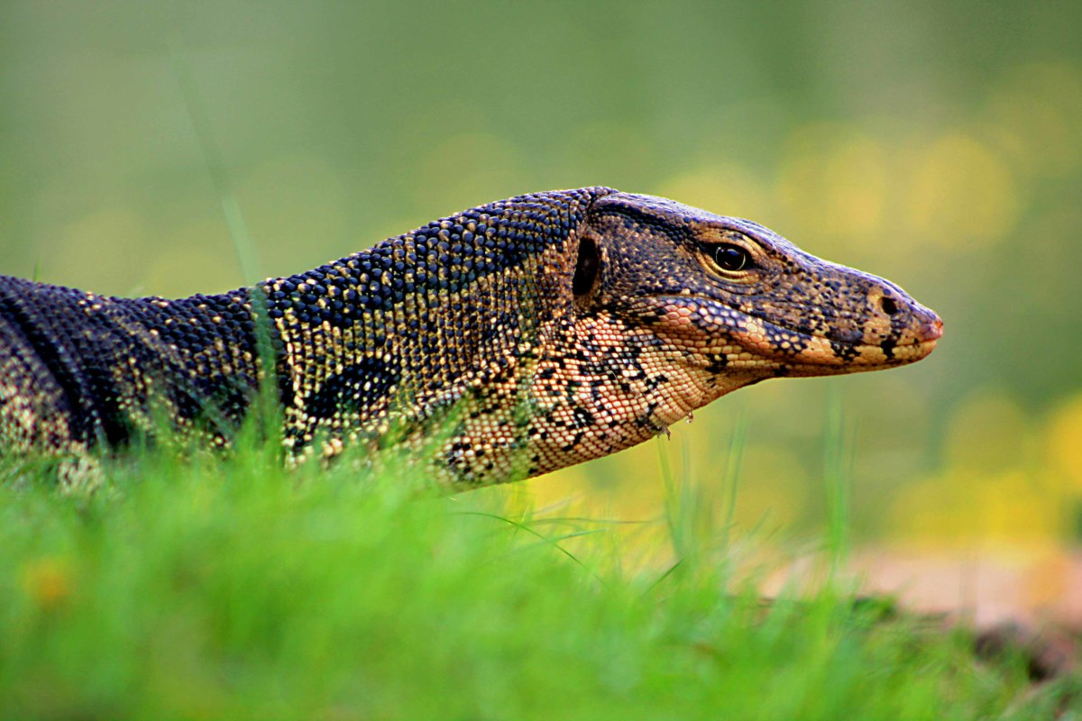 The Giant Water Monitor
