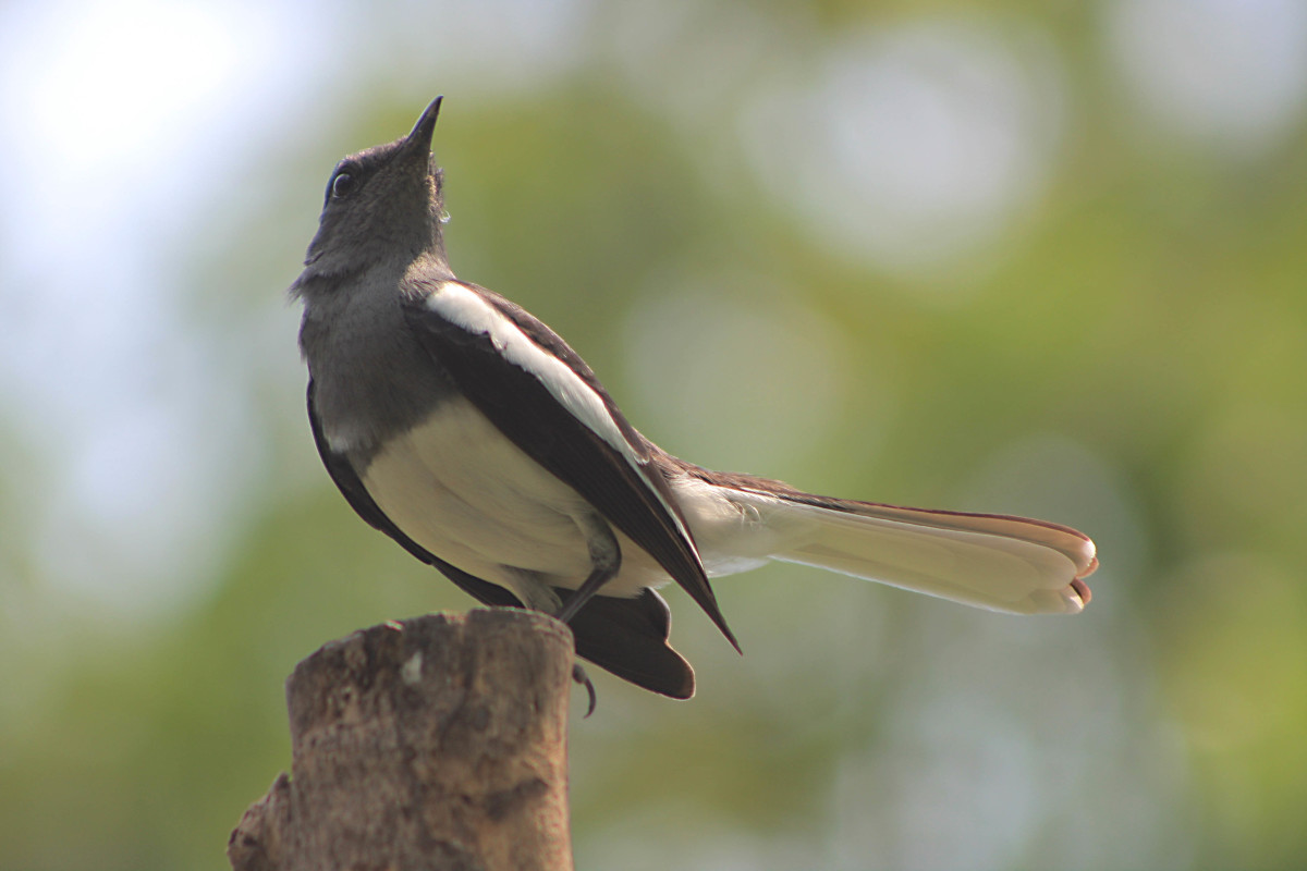 Oriental Magpie Robin - one of the regular park inhabitants