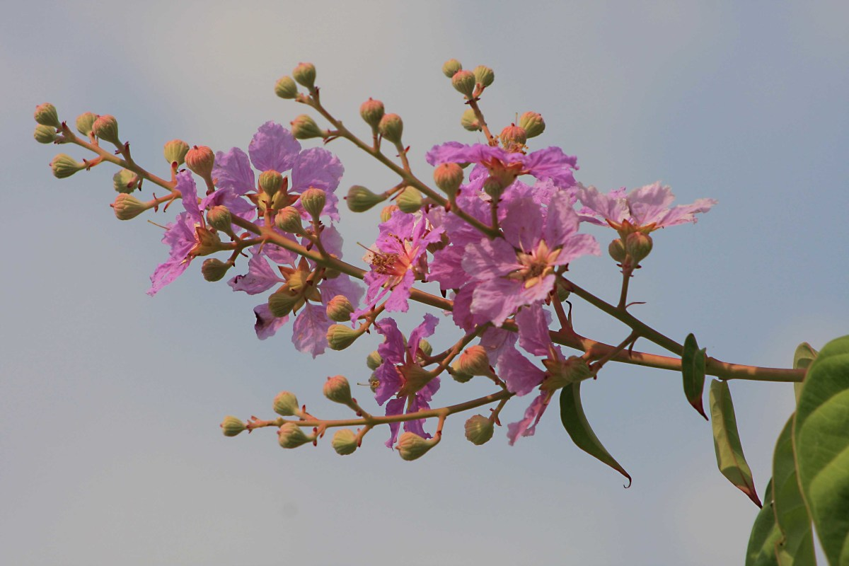 Crepe Myrtle, a small flowering tree, common in Lumpini Park