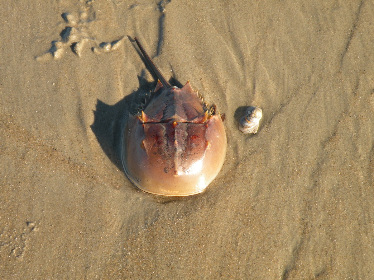 Horseshoe crab found on the beach.
