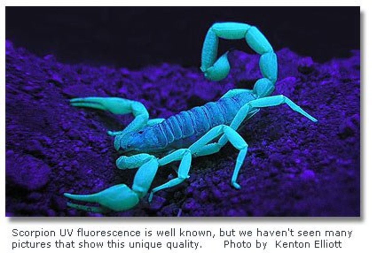 To find a scorpion in your house, get out the black light!