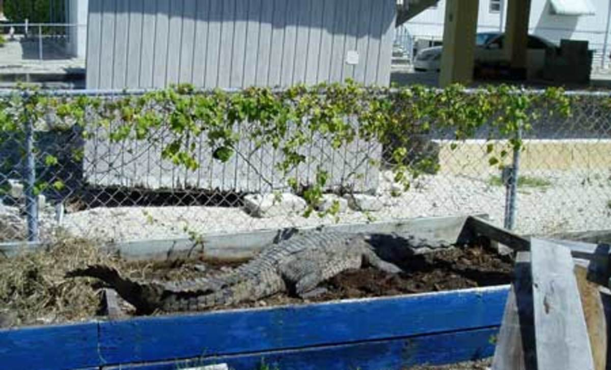 A Key Largo resident shares his flower bed with a nesting female crocodile.
