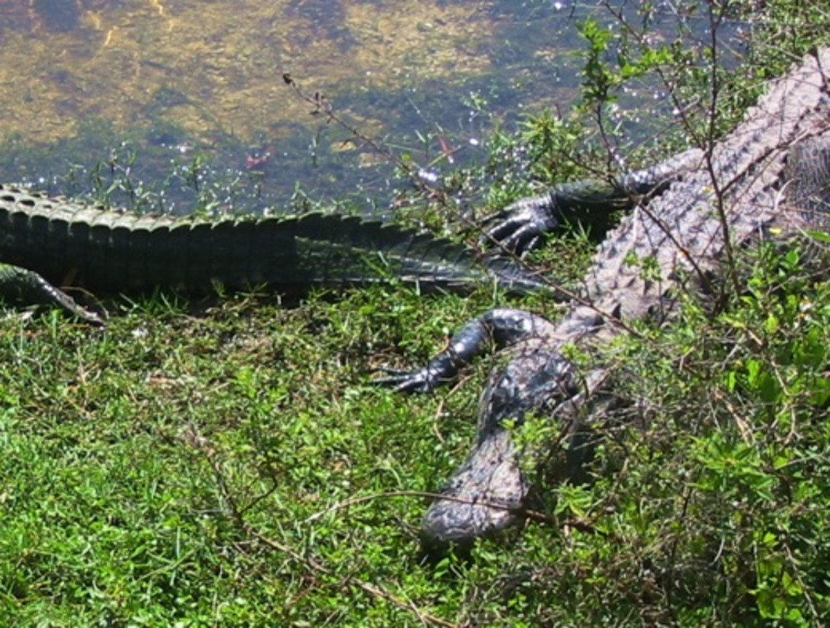 No American city is named Alligator, but just a little north of where these reptiles live, there's a town with a great name: Yeehaw Junction, Florida.