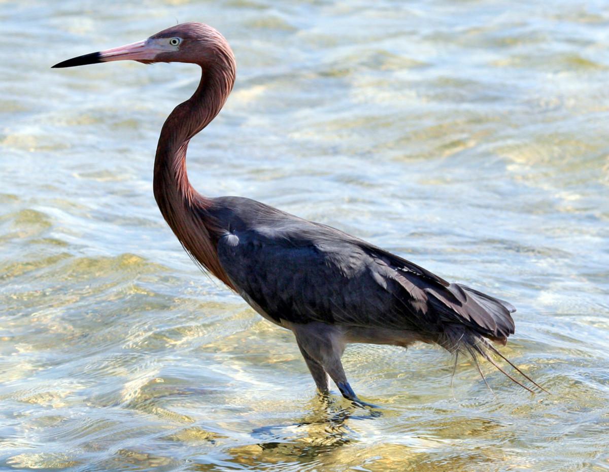 Reddish Egret on Padre Island