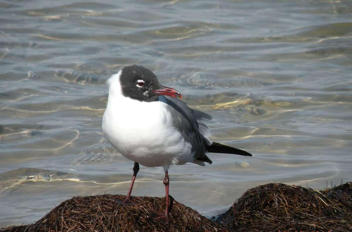 Royal Tern on the beach at Padre Island National Seashore.