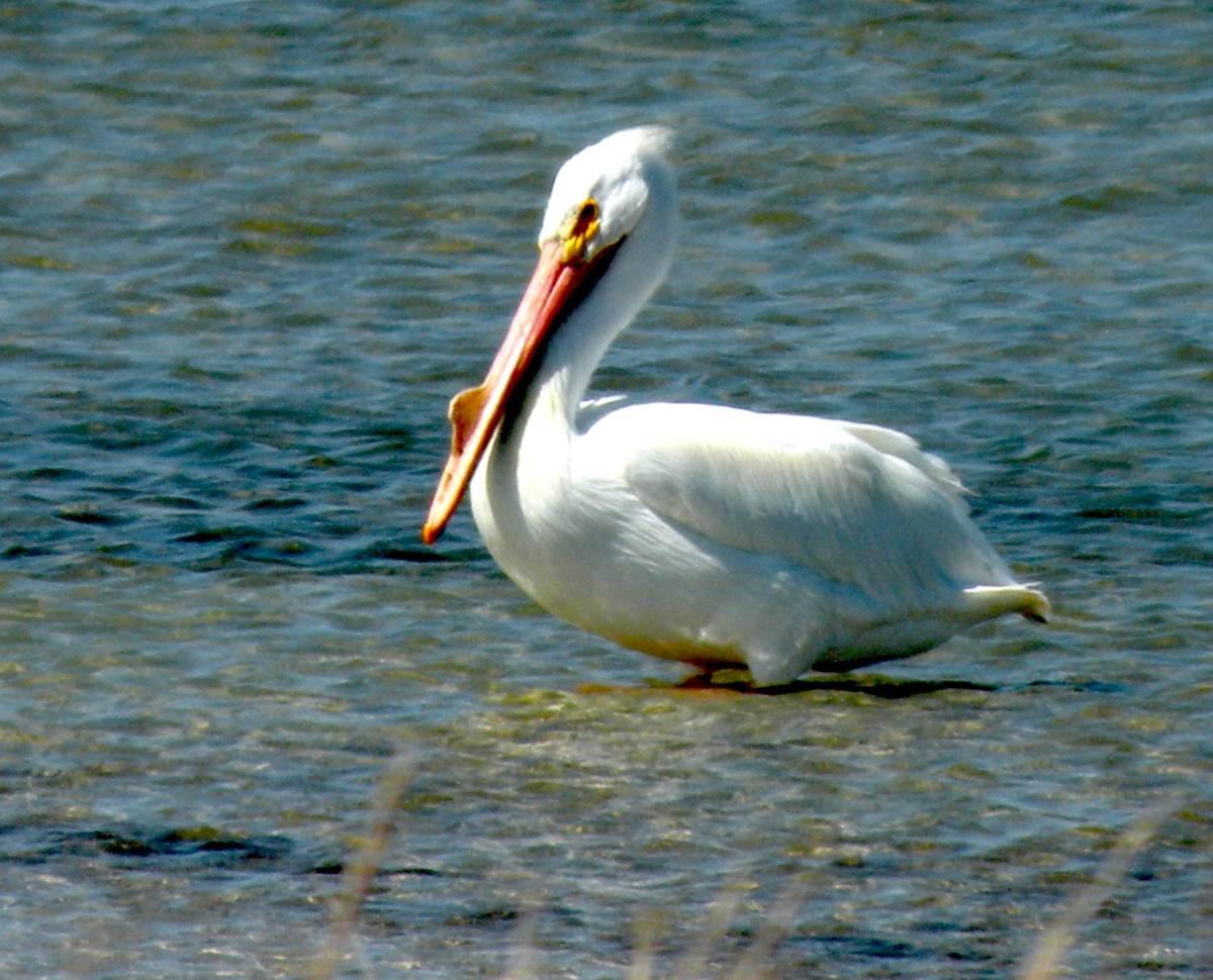 White Pelican at Padre Island National Seashore