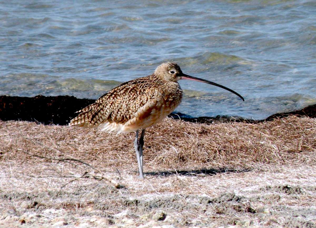 Long billed curlew on Padre Island